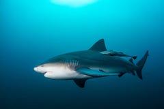 Giant bull shark. / Zambezi Shark swimming in deep blue water Royalty Free Stock Images