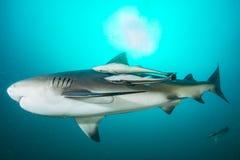 Giant bull shark stock photos