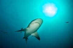 Giant bull shark royalty free stock photography