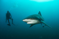 Giant bull shark. / Zambezi Shark swimming in deep blue water stock image