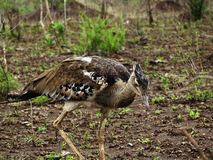 Giant bustard looking for food royalty free stock image