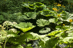 Giant butterbur leaves Stock Photography
