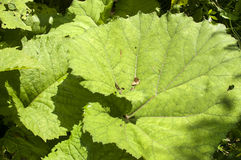 Giant butterbur leaves Stock Photos