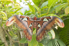 Giant butterfly. Colorfull giant butterfly in thailand Stock Image