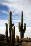Giant Cacti on Fish Island Uyuni Stock Images