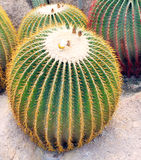 Giant cactus Royalty Free Stock Images