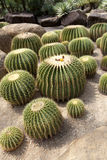 Giant cactus Royalty Free Stock Photos