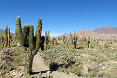 Giant cactus stock photos