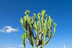 Giant cactus Royalty Free Stock Photos