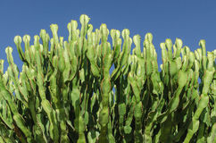 Giant cactus Royalty Free Stock Photography