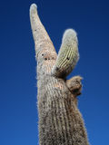 Giant Cactus Stock Photo