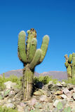 Giant cactus, los cardones Royalty Free Stock Images