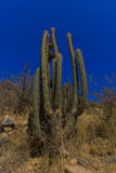 Giant cactus in Mexico Stock Photography