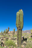 Giant cactus in South America Stock Photography