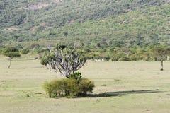 A giant Cactus tree in mid of Savanna grassland Stock Photo