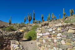 Giant cactus valley in South America Stock Image