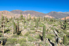 Giant cactus in a valley in South America Royalty Free Stock Photos