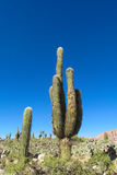 Giant cactus valley in South America Stock Images