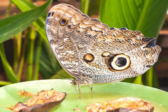 Oileus Giant Owl Stock Images