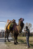 Giant camel and tall owner. Stock Images