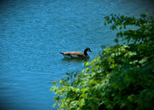 Giant Canada Goose relaxing in a blue Lake on sunny day.  Royalty Free Stock Photos