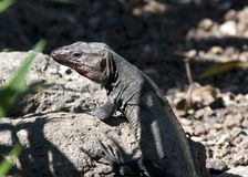 Giant Canary Island Lizard Royalty Free Stock Photography