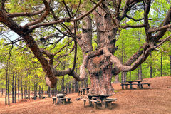 Giant Canary pine. At the picnic area on El Hierro island - Canary islands - Spain Stock Photos