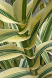 Giant cane. (Arundo donax). Called Carrizo, Arundo, Spanish cane, Colorado River Reed, Wild cane and Giant reed also. Close up image of stem and leaves stock photo