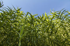 Giant Cane (Arundo donax). Upward view of a busy Giant Cane (Arundo donax) plants next the a stream of water stock images