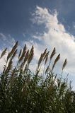 Giant cane with blue sky background. View of a giant tall cane of the Arundo donax type near a ravine area royalty free stock photos