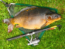 Giant carp (Cyprinus carpio). Stock Images