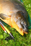 Giant carp (Cyprinus carpio). Royalty Free Stock Images