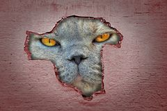 Giant cat face prowling looking through hole in wall. Concept photo of a giant cat face looking for prey through hole in wall royalty free stock image