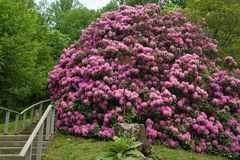 Giant Catawba Rhododendron Shrub in Full Bloom royalty free stock photos