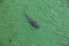 Giant catfish in the cooling pond. Of the Chernobyl nuclear power plant Royalty Free Stock Image