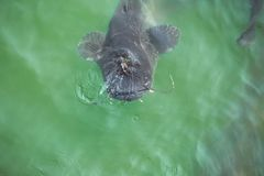 Giant catfish in the cooling pond. Of the Chernobyl nuclear power plant Stock Photography