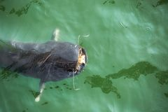 Giant catfish in the cooling pond. Of the Chernobyl nuclear power plant Royalty Free Stock Images