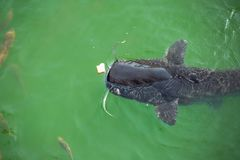 Giant catfish in the cooling pond. Of the Chernobyl nuclear power plant Stock Photo
