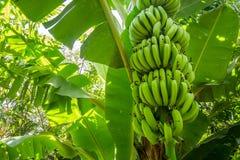 Giant cavendish banana bunch on the plantation Royalty Free Stock Photos