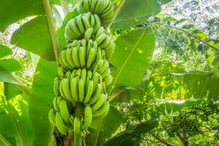 Giant cavendish banana bunch on the plantation Stock Photos