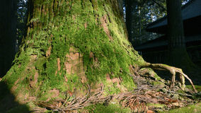 Giant cedar Royalty Free Stock Images