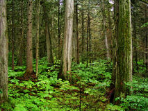 Giant Cedars Park. The giant cedars park in British Columbia, Canada Royalty Free Stock Image
