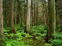 Giant Cedars Park royalty free stock image
