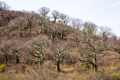Giant ceiba trees. In coast of Ecuador Stock Photo