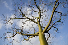 Giant ceiba trees Royalty Free Stock Photos