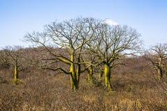 Giant ceiba trees. In coast of Ecuador Royalty Free Stock Image