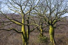 Giant ceiba trees. In coast of Ecuador Stock Images