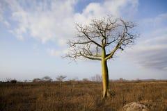 Giant ceiba trees. In coast of Ecuador Royalty Free Stock Photography