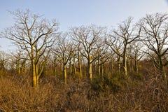 Giant ceiba trees. Forest of giant ceiba trees in coast of Ecuador Stock Photos