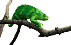 Giant Chameleon Stock Images